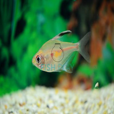 Bleeding Heart Tetra 5pcs Fishplay